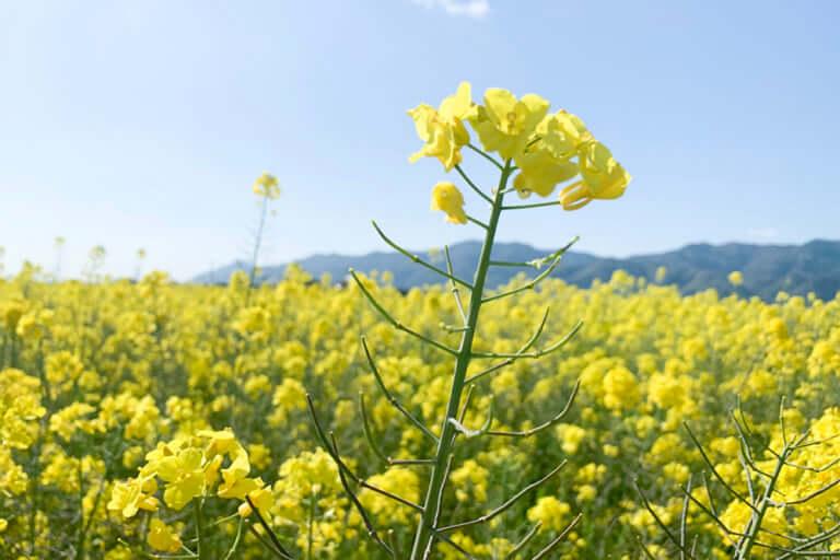 【出雲市】まるで黄色い絨毯!斐川の菜の花畑が絶景です!